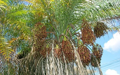 Pygmy Date Palm with Red Date Scale