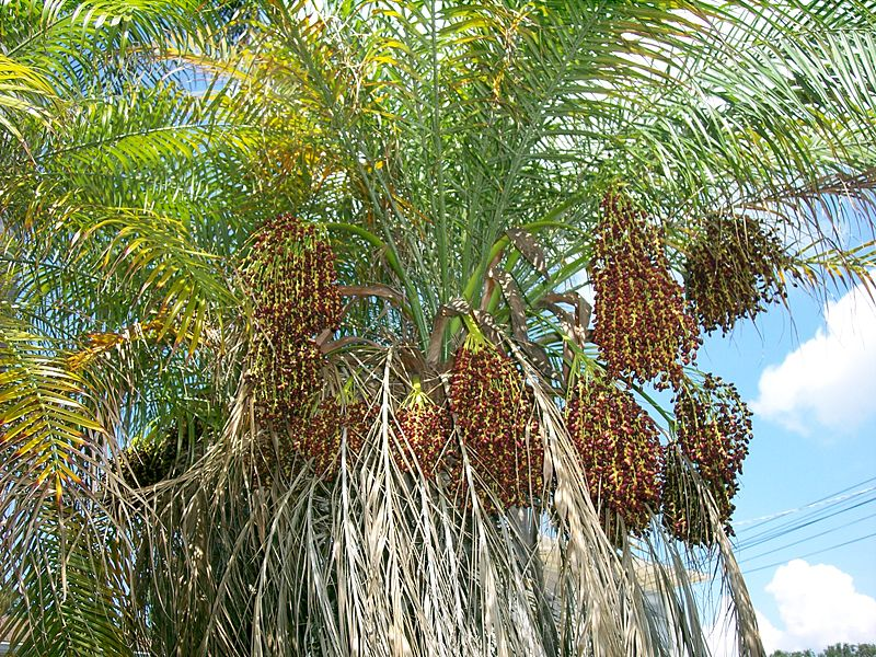 Naples Landscape Problems: Pygmy Date Palm with Red Date Scale