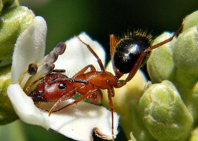 acrobatic ant