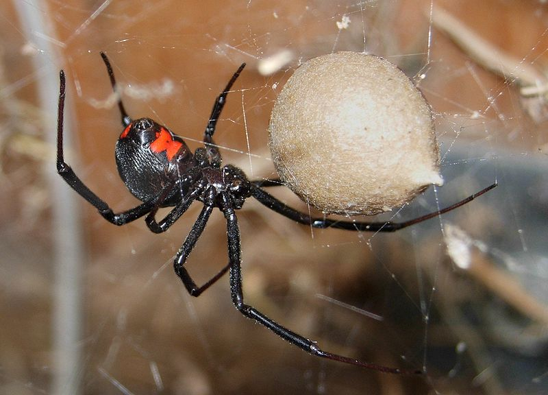 black widow is found in naples fl area
