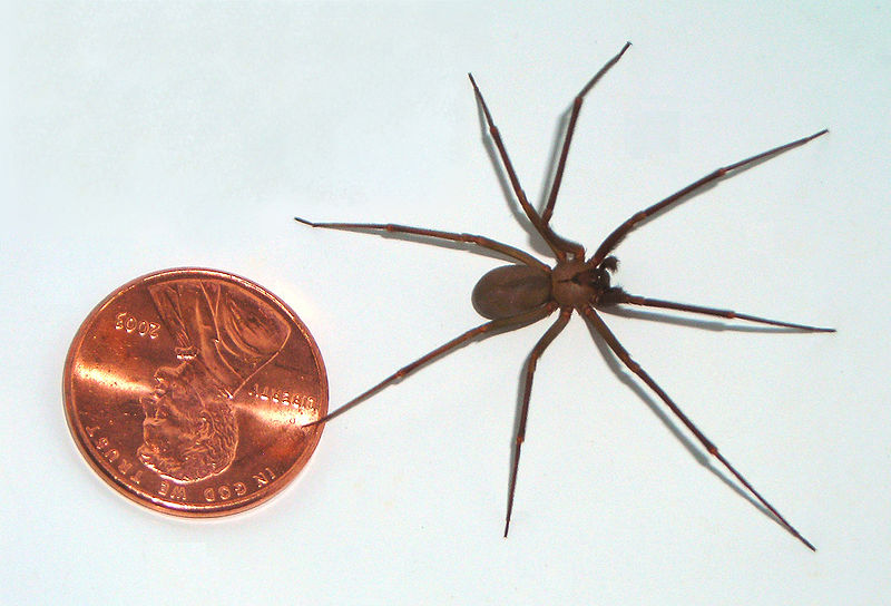 brown recluse may be found in naples area