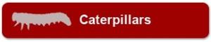 caterpillers