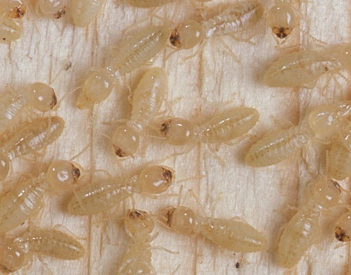 Drywood Termite. CSIRO [CC BY 3.0 (http://creativecommons.org/licenses/by/3.0)], via Wikimedia Commons