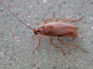German Cockroach. By Lmbuga (Own work) [CC BY-SA 3.0 (http://creativecommons.org/licenses/by-sa/3.0)
