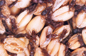 granary weevils