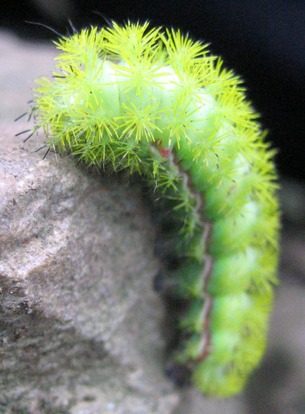 IO Moth Caterpillar. By Michael Holroyd [Public domain], via Wikimedia Commons