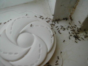 little black ants