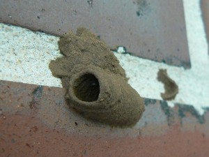 mud-dauber-nest