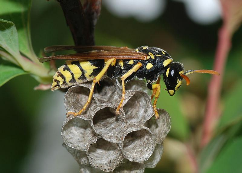 Naples Wasp Control, Exterminator Services