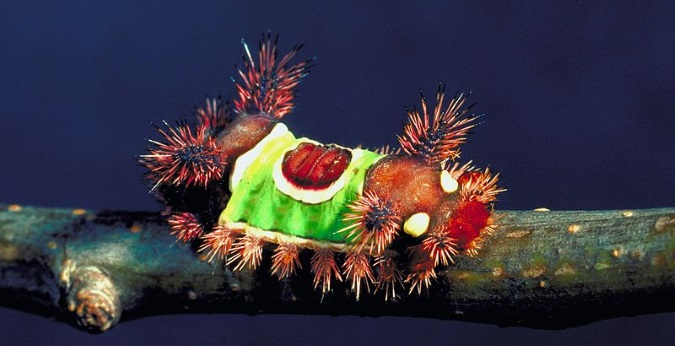 Saddleback Caterpillar. Gerald J. Lenhard, Louiana State Univ/© Bugwood.org, via Wikimedia Commons