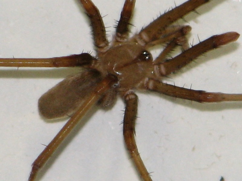 southern house spider is found in naples area