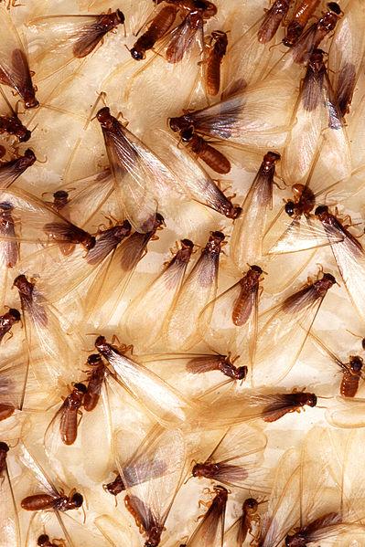 Termite Swarmers. Public Domain Image via Wikimedia Commons