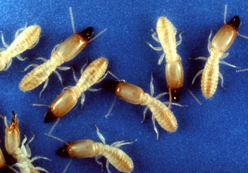 Subterranean Termite. Public Domain Image via Wikimedia Commons