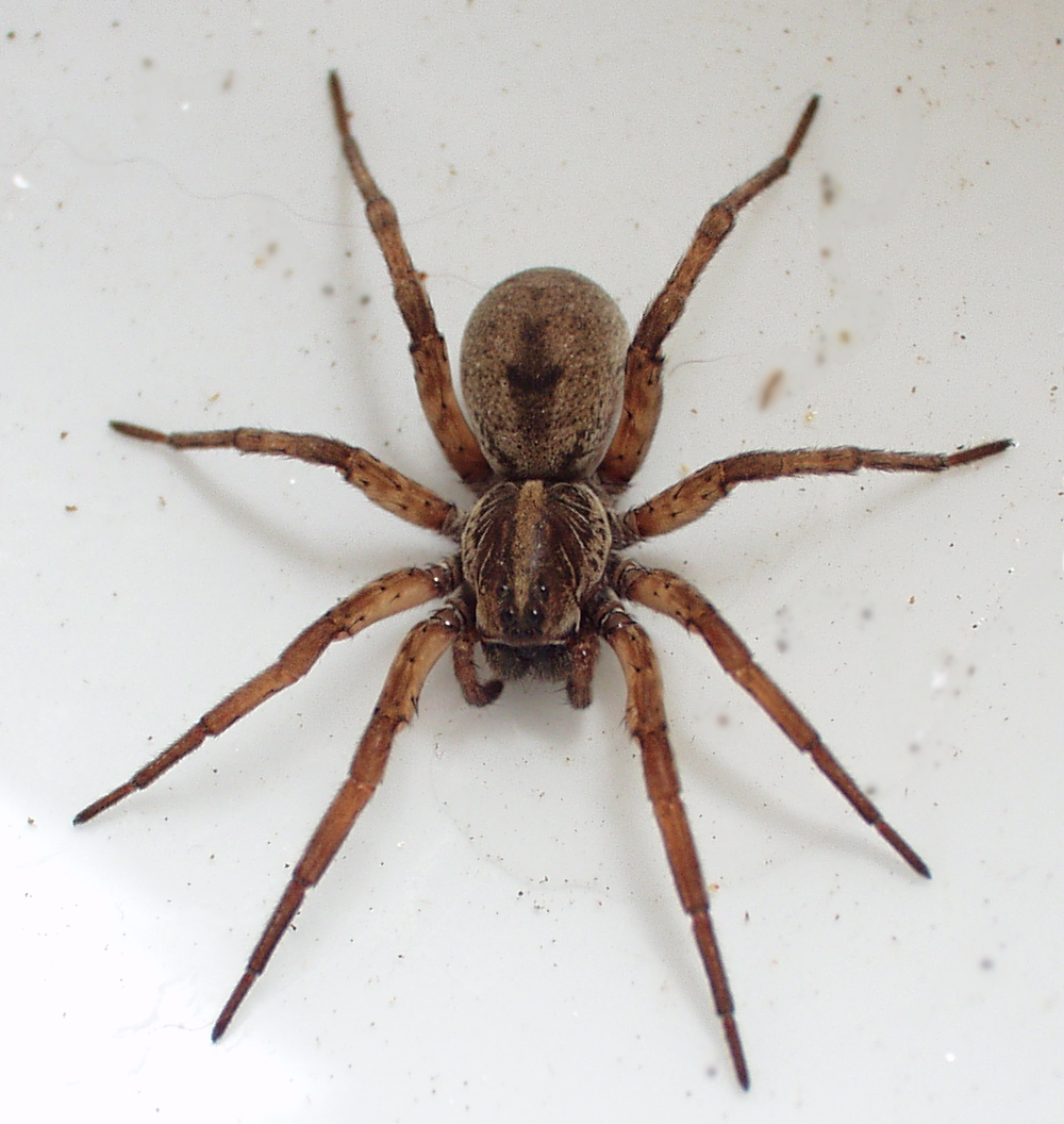 wolf spider is found in our area naples