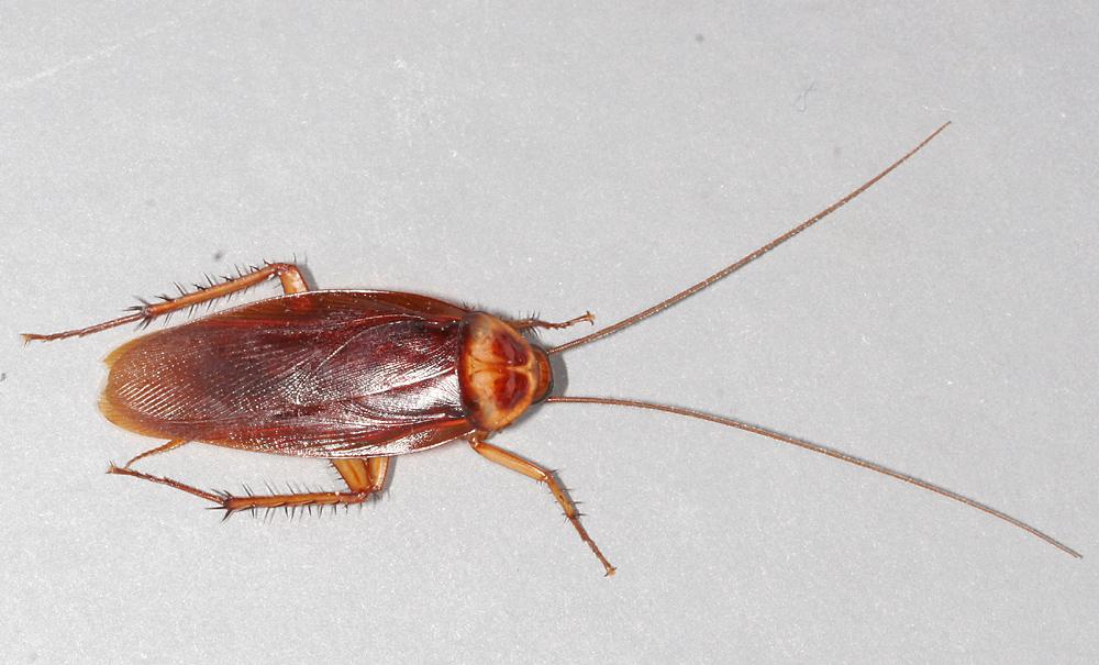 american male roach