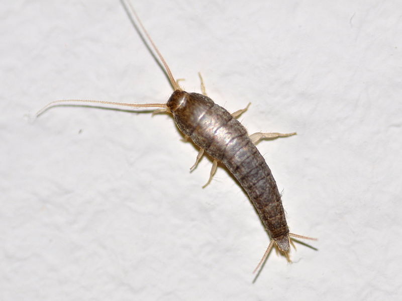 another silverfish