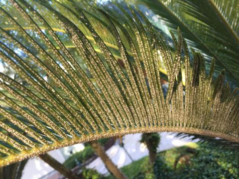 asian scale on king sago palm