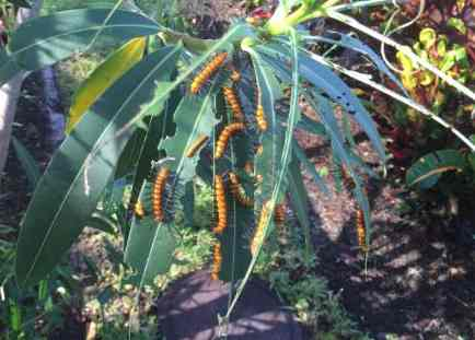 Naples Landscape Problems, Oleander Caterpillars