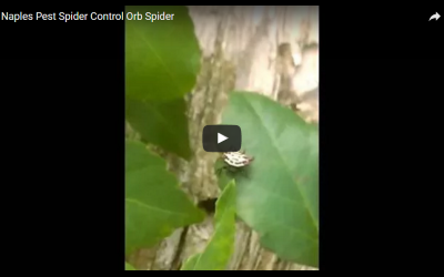 Pest Control Video: Orb Spider