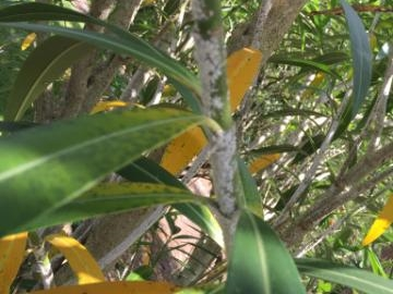 Oleander Bush Snow Scale, Naples Landscape Problems