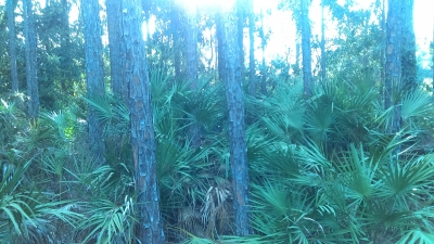 palmetto and pine trees